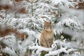 Eurasian lynx cub standing in winter colorful forest with snow — Stock Photo