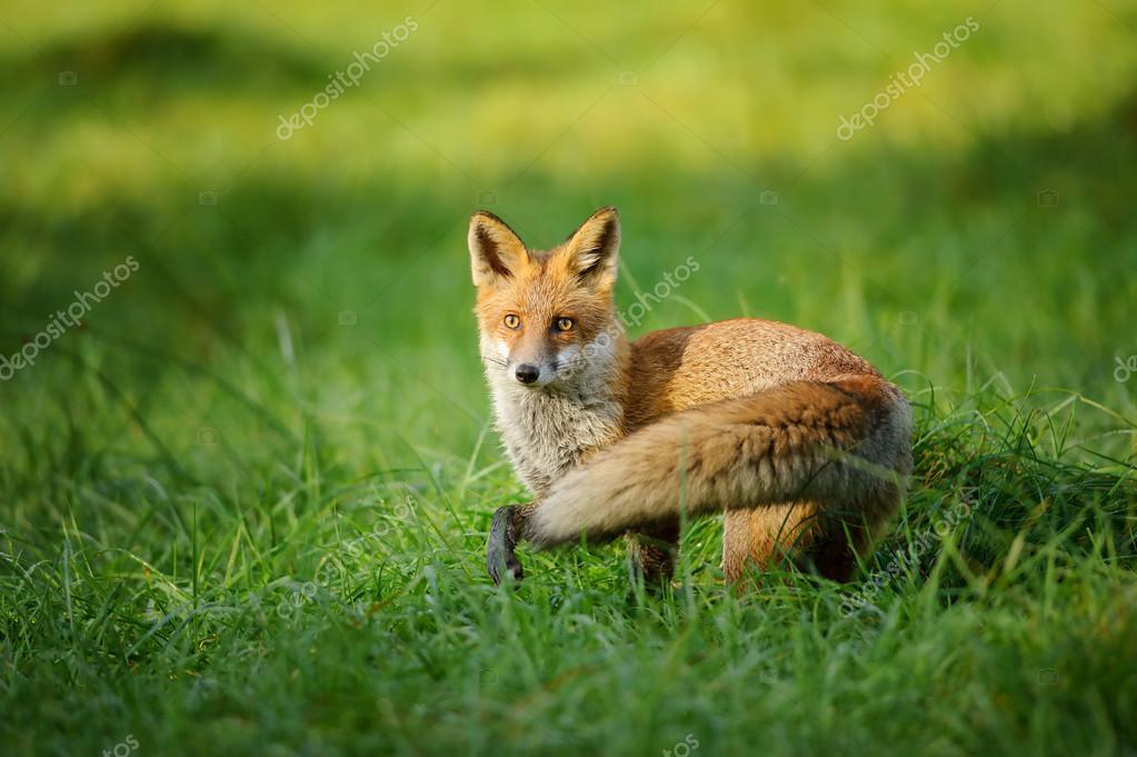 Image result for 红狐狸