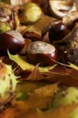Horse Chestnut — Stock Photo