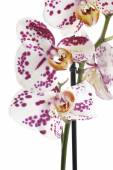 Moth Orchids — Stock Photo