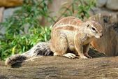 Wild rodent — Stock Photo