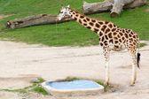 Rothschild giraffes — Stock Photo