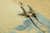 Wild lizard on the sand — Stok fotoğraf