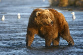 Old kodiak brown bear — Stock Photo