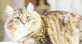 Brown cat of siberian breed, female — Foto de Stock