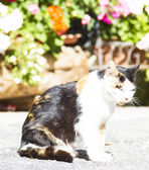 Tricolor female cat — Stock Photo