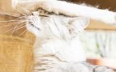 Silver cat of siberian breed — Stock Photo