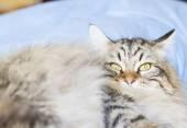 Brown cat of siberian breed — Foto de Stock