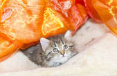 Siberian puppy of cat, brown version — Stock Photo