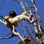 Coronado lémur de Sifaka (Propithecus coronatus), Madagascar — Foto de Stock   #71939317