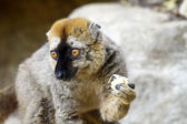 The red-fronted lemur (Eulemur rufifrons), also known as the red — Stock Photo