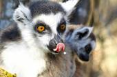 Ring-tailed lemur (lemur catta) and cute cup, madagascar — Stock Photo