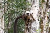 White-fronted brown lemur (Eulemur fulvus albifrons) — Stock Photo