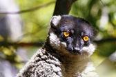 Brown Lemur (Eulemur fulvus fulvus), madagascar — Stock Photo