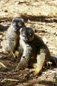 Brown Lemur (Eulemur fulvus fulvus), madagascar — Stock Photo