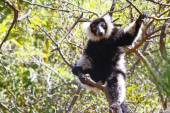 The black and white ruffed lemur is the more endangered of the t — Foto de Stock