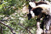 The black and white ruffed lemur is the more endangered of the t — ストック写真