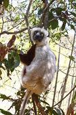 Endangered Coquerel's Sifaka Lemur (Propithecus coquereli), Mada — Foto de Stock
