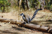 Ring-tailed lemur (lemur catta), madagascar — Zdjęcie stockowe