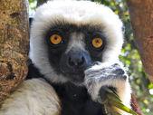 Endangered Coquerel's Sifaka Lemur (Propithecus coquereli), Mada — Stock Photo