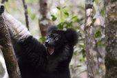 Indri, the largest lemur of Madagascar  — Stock Photo