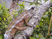 Chameleon - Rare Madagascar Endemic Reptile — Stock Photo