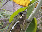 Panther Chameleon (Furcifer pardalis) - Rare Madagascar Endemic  — Stock Photo