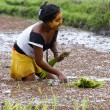 Woman planting rice into the paddy fields of Madagascar — Stock Photo #76210499
