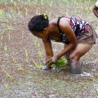 Woman planting rice into the paddy fields of Madagascar — Stock Photo #76213707