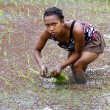 Woman planting rice into the paddy fields of Madagascar — Stock Photo #76214053