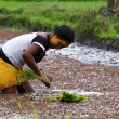 Woman planting rice into the paddy fields of Madagascar — Stock Photo #76230263