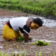 Woman planting rice into the paddy fields of Madagascar — Stock Photo #76230265