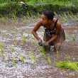 Woman planting rice into the paddy fields of Madagascar — Stock Photo #76230319