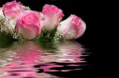 Pink rose water reflection — Stock Photo