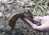Chipmunk hand seeds feeding — Stockfoto