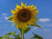 Sunflower sky — Photo
