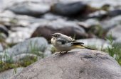 Wagtail bird stone — Stock Photo