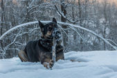 Dog portrait snow winter forest — Stock Photo