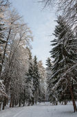 Forest spruce trees winter — Stock Photo