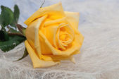 Yellow rose light background — Foto de Stock
