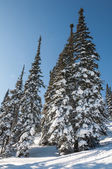 Spruce forest snow winter mountains — Stock Photo