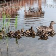 Duck ducklings lake — Stock Photo #58321163