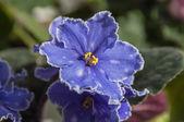 Fialově modrý květ — Stock fotografie