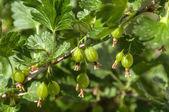 Gooseberry berries fruit  — Stock Photo
