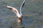 Seagull bird swamp — Stock Photo