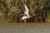 Seagull bird swamp — 图库照片