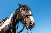Horse bridle portrait  — Stock Photo