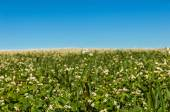 Buchweizen-Blumen-Feld — Stockfoto