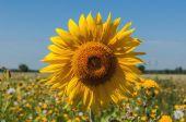 Kwiat słonecznika niebo pole — Zdjęcie stockowe
