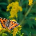 Постер, плакат: Butterfly flower urticaria